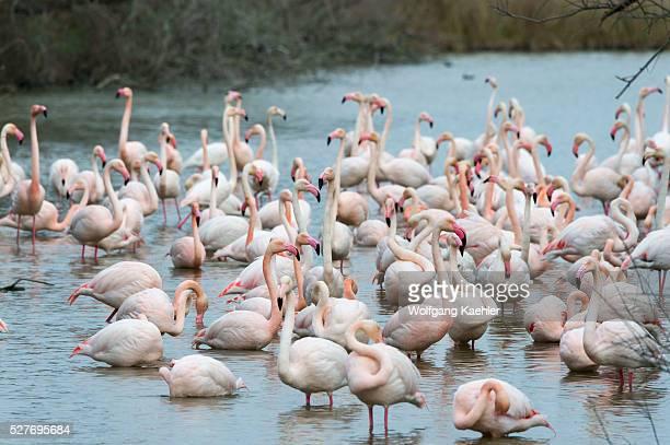 Greater flamingos at the Bird Park Pont de Grau a UNESCO designated biosphere reserve near Saintes Marie de la Mer in the Camargue southern France