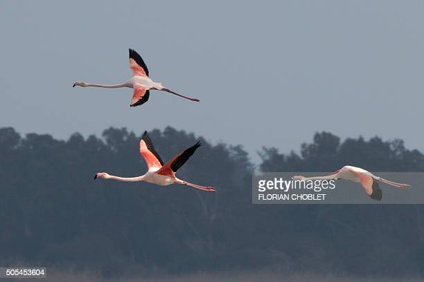 Greater flamingos fly over a salt lake in the Sovereign Base Area of Akrotiri a British overseas territory located ten kilometres west of the Cypriot...
