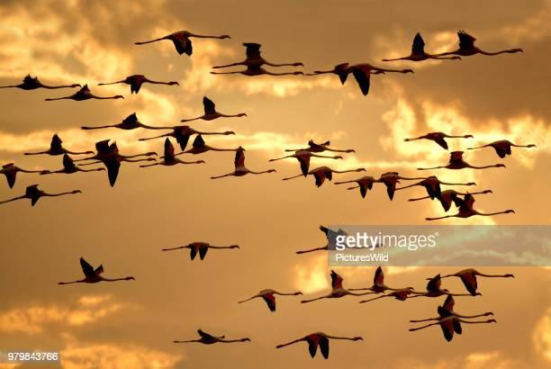 greater flamingos (phoenicopterus roseus) flying against sky, swakopmund, erongo, namibia - greater flamingo stock photos and pictures