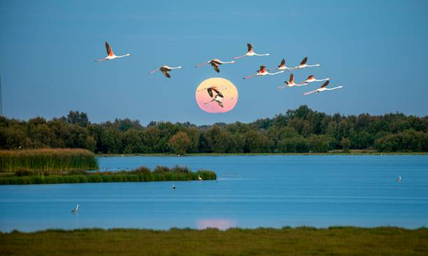 Greater flamingos (Phoenicopterus roseus) in flight, pink flamingos in front of the setting sun over a lake, Donana National Park, Huelva Province, Andalusia, Spain