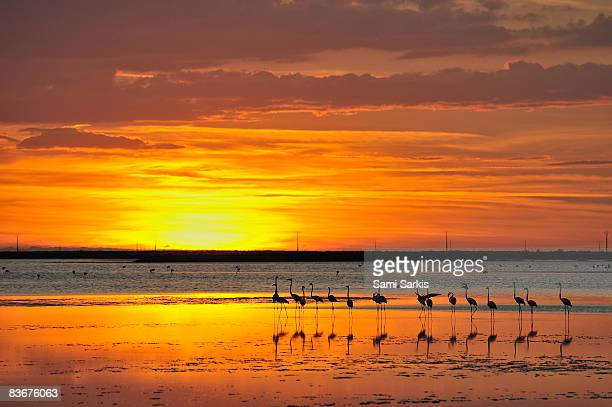 greater flamingos (phoenicopterus ruber) in pond - freshwater bird stock photos and pictures