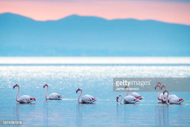 greater flamingos in thermaic gulf at sunrise - thessaloniki stock pictures, royalty-free photos & images