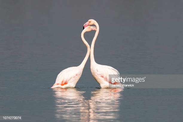 Greater flamingos interacting