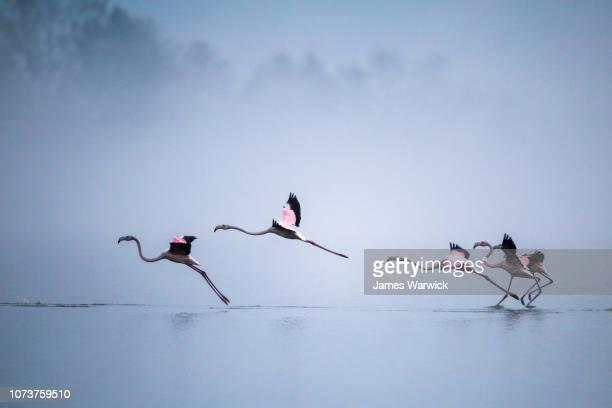greater flamingos landing - pájaro tropical fotografías e imágenes de stock