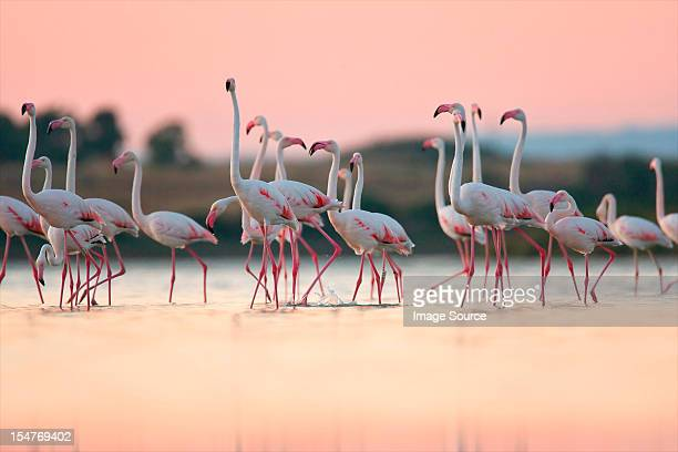 greater flamingos (phoenicopterus roseus), oristano, sardinia - flamingo stock photos and pictures