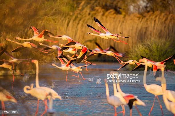 greater flamingos, phoenicopterus roseus,pont de gau,camargue, france - サントマリードラメール ストックフォトと画像