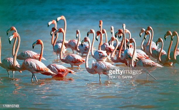 Greater Flamingos Sian Ka'an Biosphere Reserve Quintana Roo Mexico