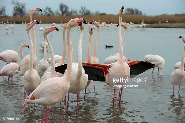 Greater flamingos spreading wings at the Bird Park Pont de Grau a UNESCO designated biosphere reserve near Saintes Marie de la Mer in the Camargue...