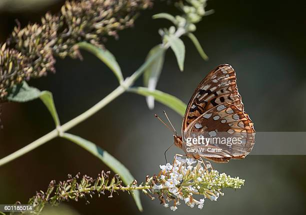 greater fritillary - lily carter stock pictures, royalty-free photos & images