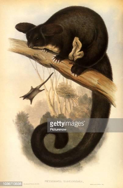 Greater Gliding Possum, Schoinobates volans.