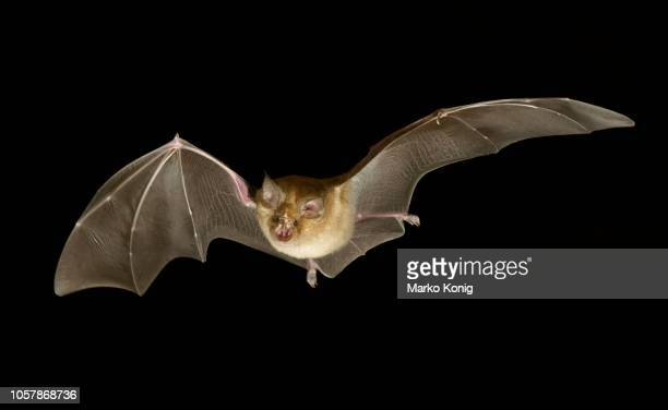 greater horseshoe bat (rhinolophus ferrumequinum) in flight at night, luxembourg - horseshoe bat stock pictures, royalty-free photos & images