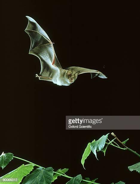 greater horseshoe bat: rhinolophus ferrum-equinum  in flight