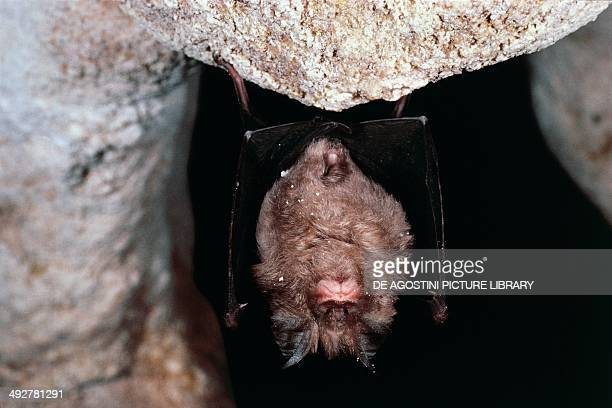 Greater Horseshoe Bat Rinolofidae