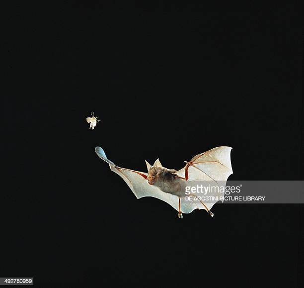 Greater Horseshoe Bat Rinolofidae while catching a moth