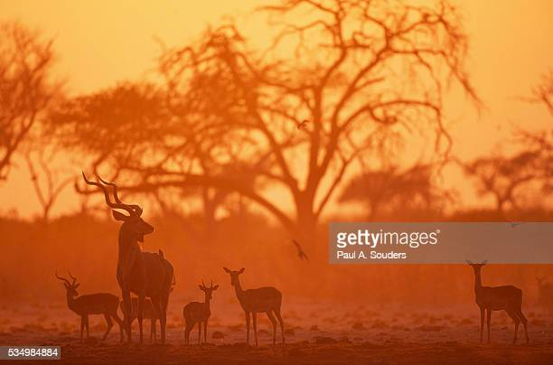 Greater Kudu and Impala Herd at Water Hole