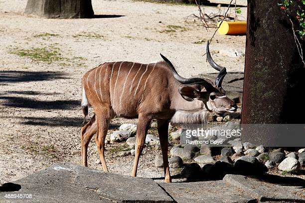 Greater Kudu at the Milwaukee County Zoo on September 13 2015 in Milwaukee Wisconsin