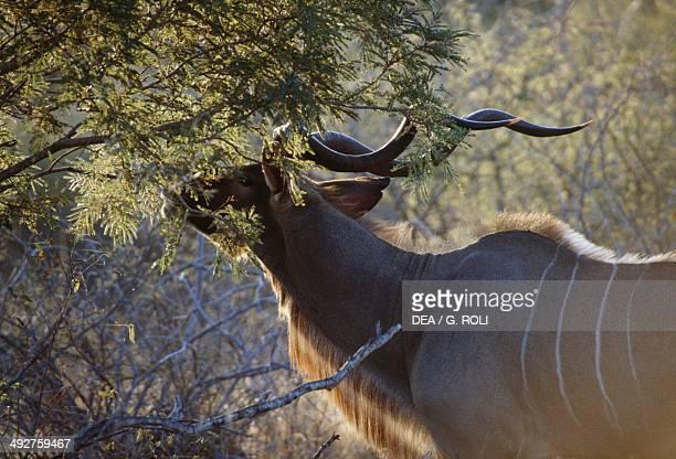 Greater kudu Bovidae Kruger National Park South Africa