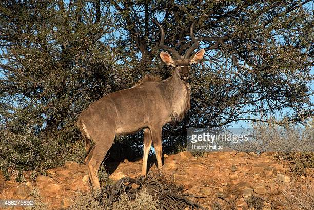 A greater kudu bull walks in the Inverdoorn Game Reserve Stretching across 10 000 hectares Inverdoorn is one of the largest private wildlife reserves...