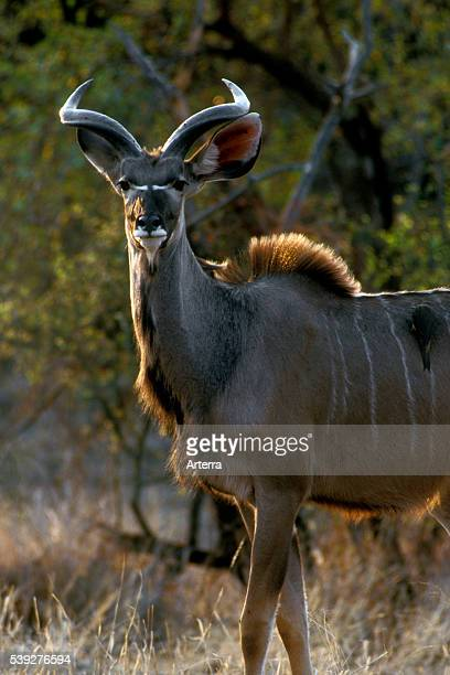 Greater kudu in the Kruger National Park South Africa