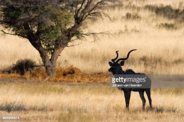 Greater Kudu in the shade
