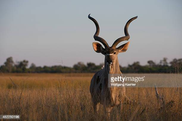 Greater kudu male at the Linyanti Reserve near the Savuti Channel in northern part of Botswana