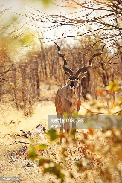 Grande-codu masculino em de Etosha NP Namíbia África