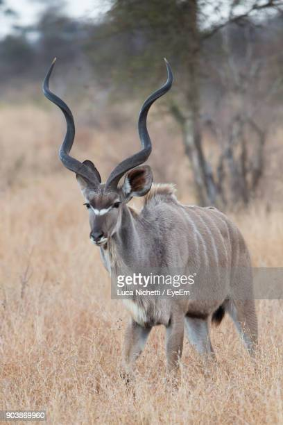 Greater Kudu On Field