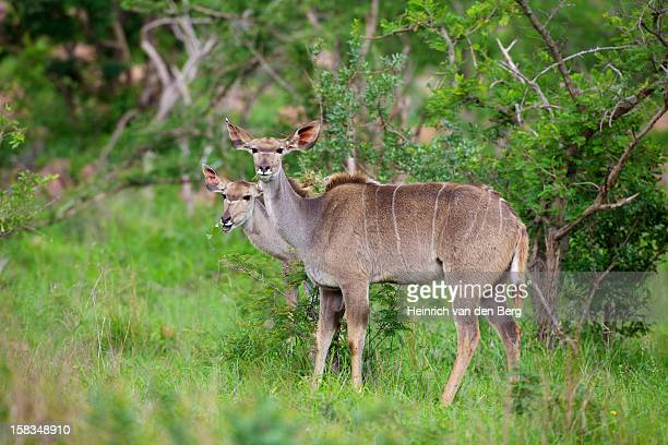 Greater Kudu pair