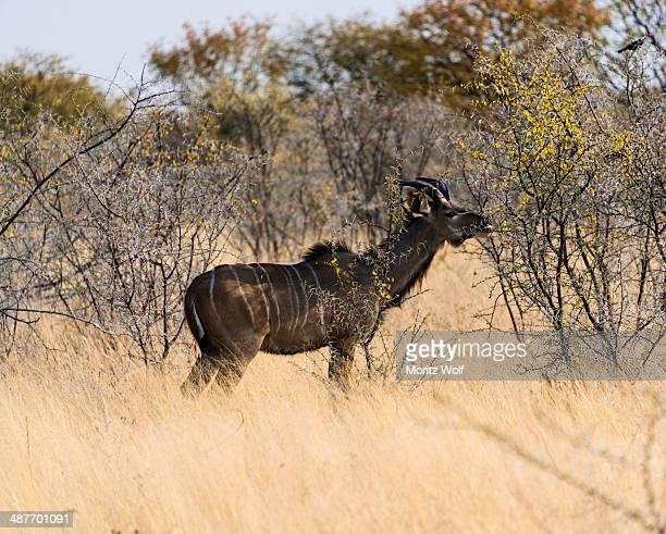 greater kudu -tragelaphus strepsiceros-, etosha national park, namibia - animal digestive system stock photos and pictures