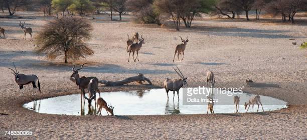greater kudus (tragelaphus strepsiceros), and impalas (aepyceros melampus), at waterhole, kalahari, botswana, africa - waterhole stock pictures, royalty-free photos & images