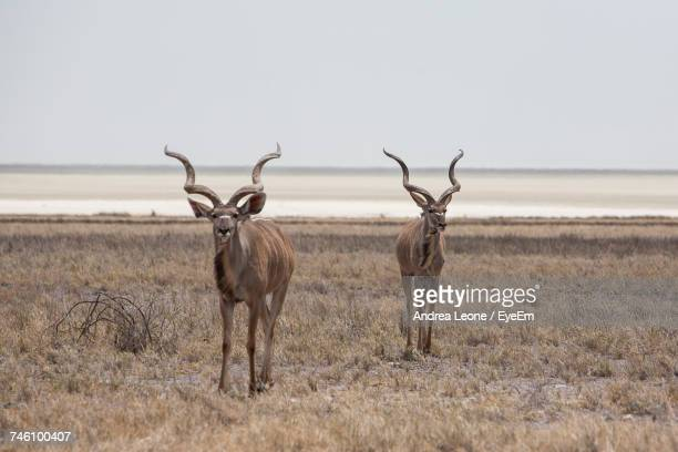 Greater Kudus Standing On Field Against Sky