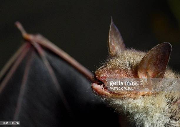 A greater mouseeared bat is pictured on January 14 2011 in the cellar vault of the Old Brewery in Frankfurt an der Oder eastern Germany Every year in...