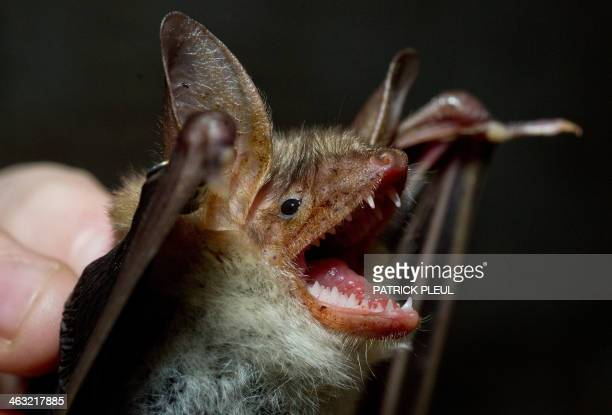 A Greater mouseeared bat is seen at the vault of an old brewery in Frankfurt an der Oder eastern Germany on January 17 2014 Once a year...