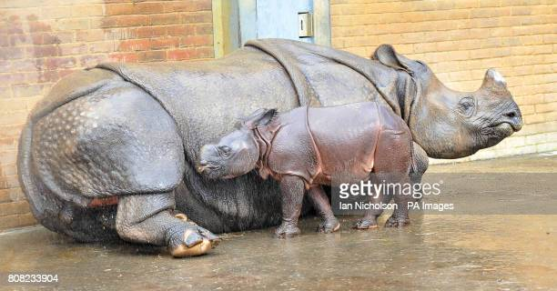 Greater onehorned rhino calf Ajang makes an appearance with his mother Behin in their enclosure at Whipsnade Zoo