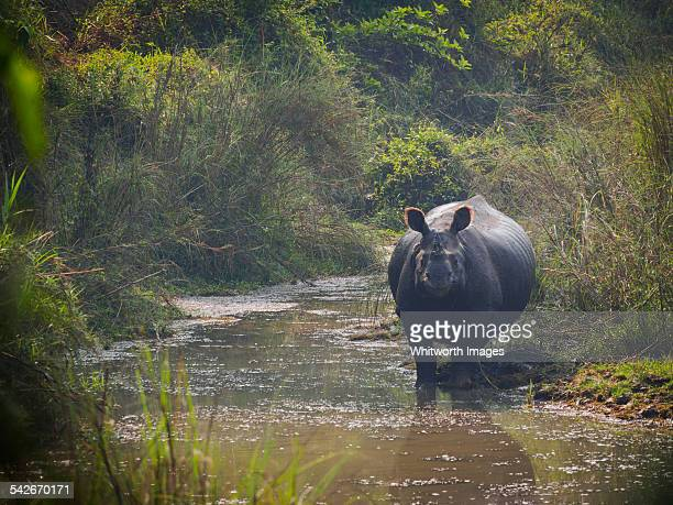 greater one-horned rhinoceros, chitwan, nepal - chitwan stock pictures, royalty-free photos & images