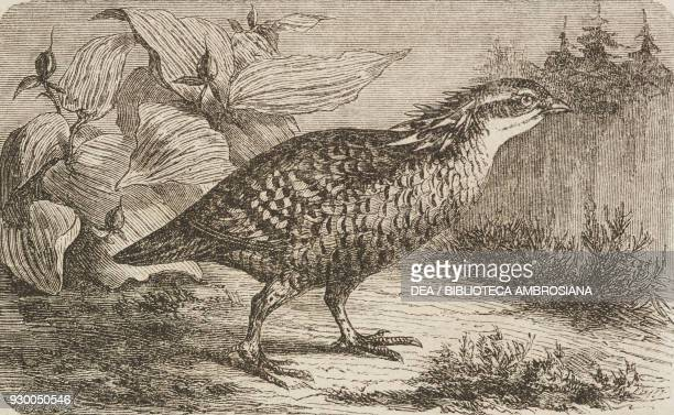 Greater prairie chicken or pinnated grouse Florida United States of America drawing by Mesnel from Four months in Florida 18511852 by Achille...