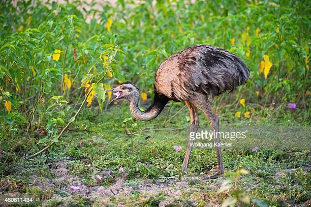 A greater rhea a flightless bird is feeding on A greater rhea a flightless bird is feeding on pink morning glory flowers near the Pouso Alegre Lodge...