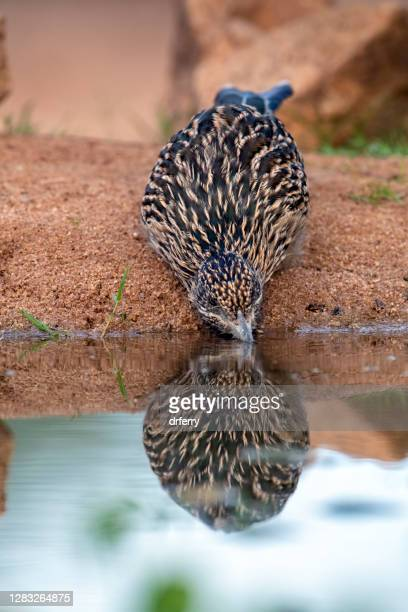greater roadrunner drinking water at a pond - arizona bird stock pictures, royalty-free photos & images