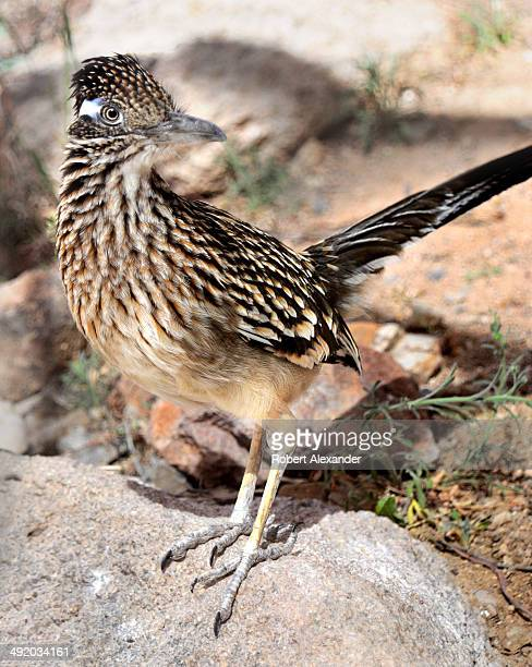 Greater Roadrunner looks at visitors through a glass partition at the ArizonaSonora Desert Museum in Saguaro National Park near Tucson Arizona