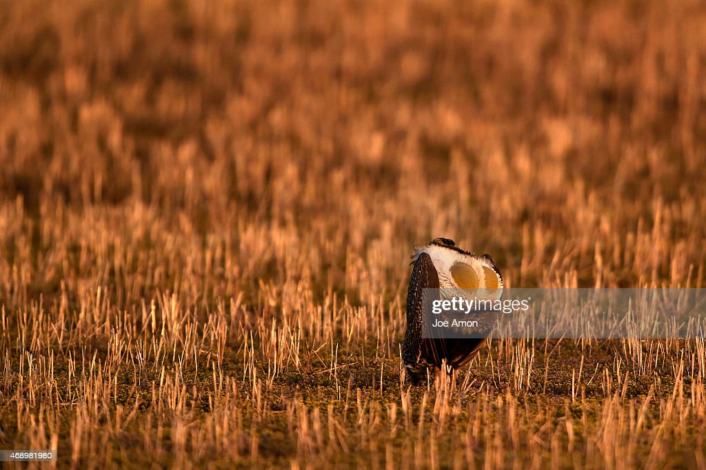 Greater Sage Grouse... : News Photo
