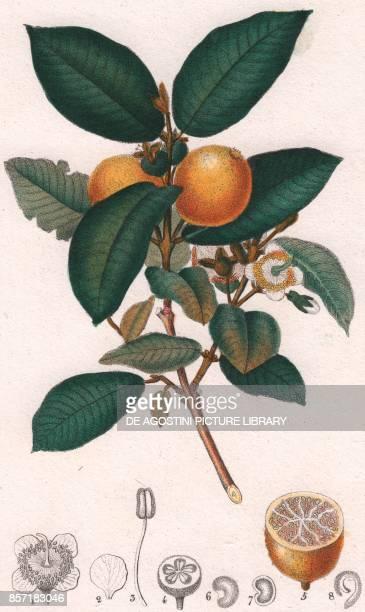 Greater Spearwort colour copper engraving retouched in watercolour 9x15 cm from Dizionario delle scienze naturali compilato da vari professori del...