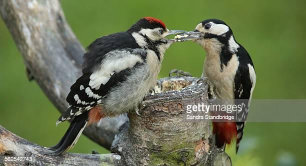 a greater spotted woodpecker feeding her baby - pica pau malhado grande - fotografias e filmes do acervo