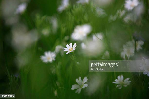 Greater Stitchwort growing, England.