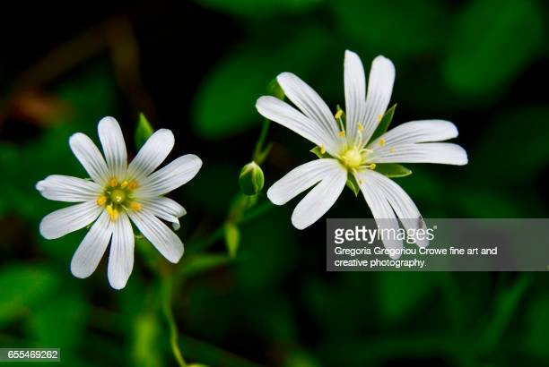 greater stitchwort (stellaria holostea) - gregoria gregoriou crowe fine art and creative photography stock photos and pictures