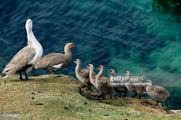 greater upland goose (chloephaga poliocephala) family, saunders island, falkland islands, south atlantic, south america - cliff saunders stockfoto's en -beelden