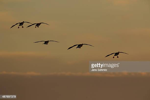 greater white-fronted geese -anser albifrons- in flight, bislicher insel nature reserve, north rhine-westphalia, germany - insel stock pictures, royalty-free photos & images