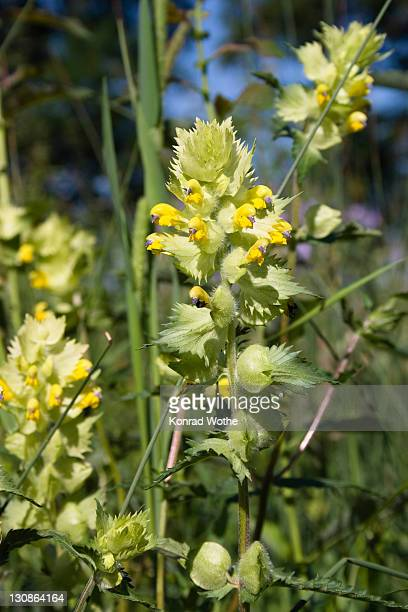 greater yellow rattle (rhinanthus alectorolophus), upper bavaria, germany, europe - toy rattle stock pictures, royalty-free photos & images