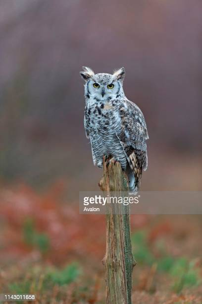 Great-Horned Owl adult perched on stump in woodland clearing, November, controlled subject.