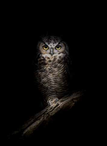 Great-Horned Owl in the Dark 956085862