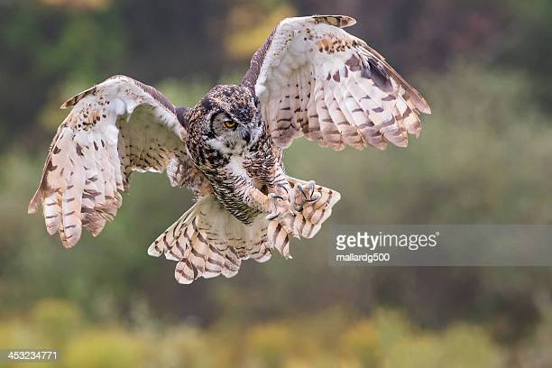great-horned owl - great horned owl stock pictures, royalty-free photos & images
